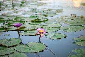 Two purple flower flowers float with leaves in a lake