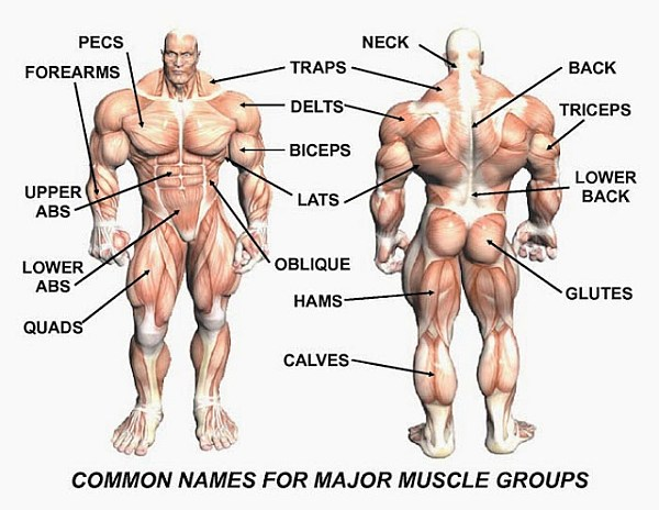 muscle names